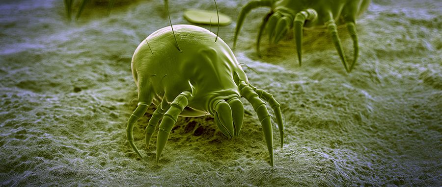 Dust Mites Cause Allergies